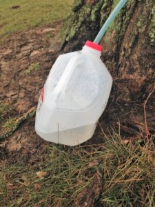 Easily Tap Maple Trees for Syrup - jug of sap
