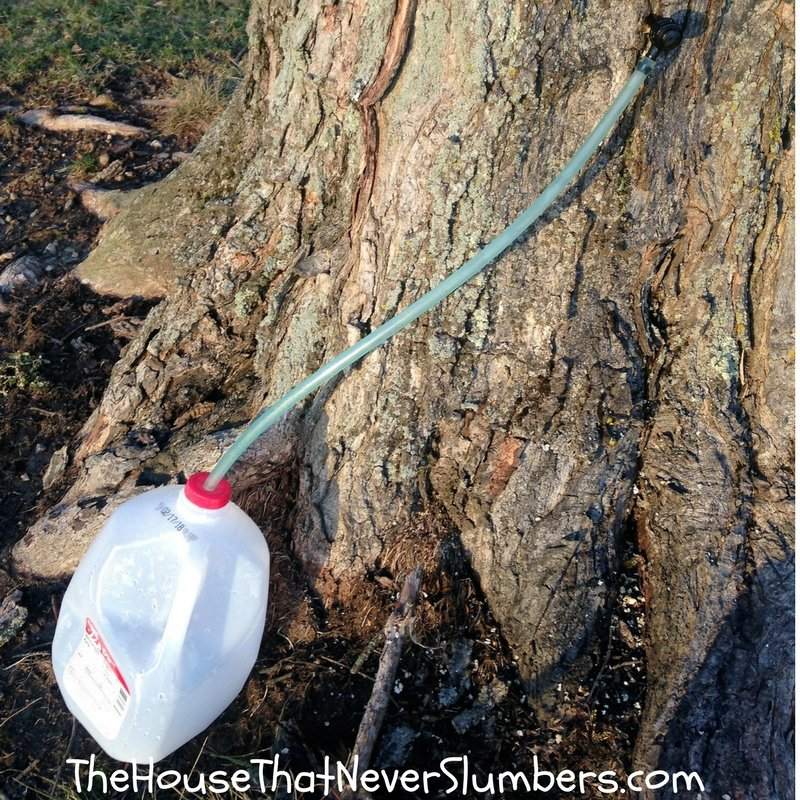 How to Easily Tap Maple Trees for Splendid Natural Syrup - featured