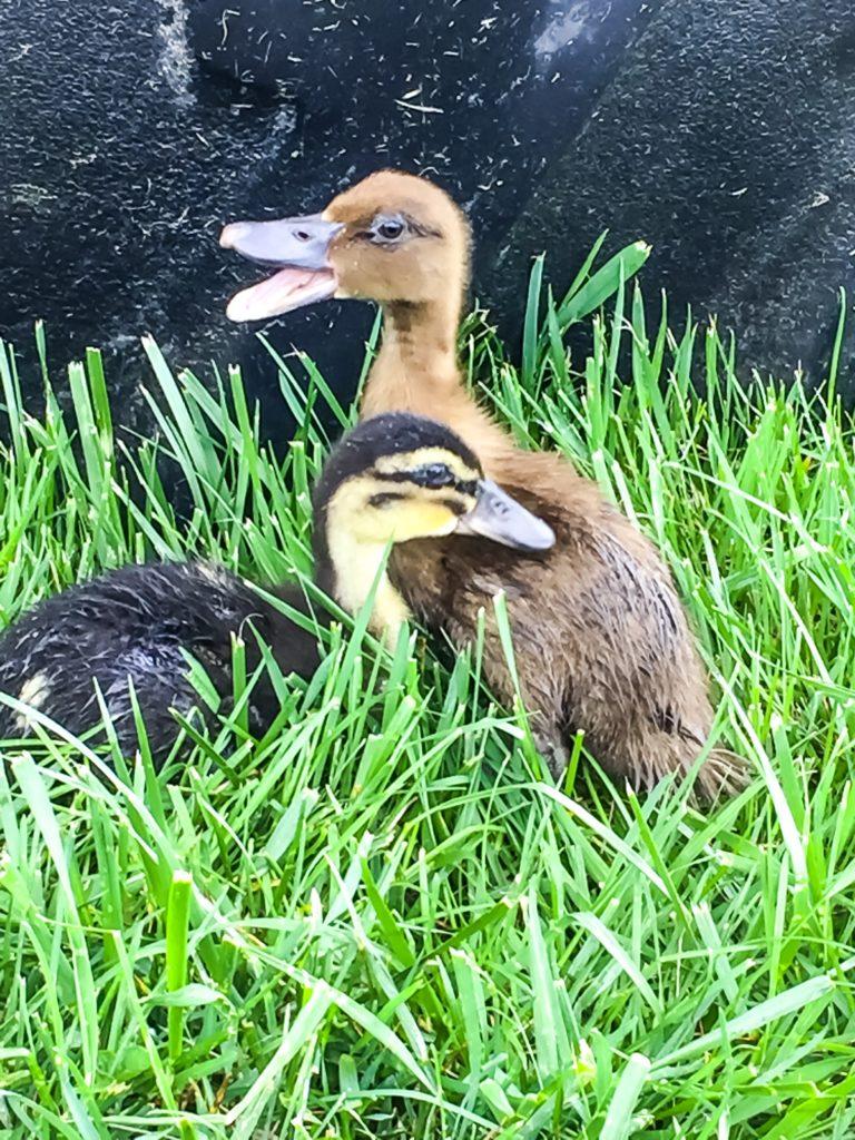 Raising Poultry - Ducklings #ducks #ducklings #poultry #homesteading #eggs
