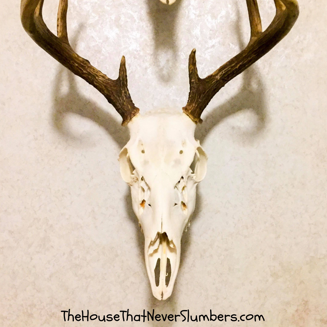 Bleach Your Own Deer Skull for a Perfect European Mount - Let us show you how to bleach a deer skull to make your own European mount for display. It's a simple and inexpensive process that can save you hundreds of dollars. #hunting #europeanmount #antlers #deer #skullmount